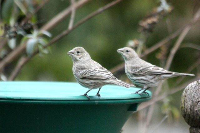 Notice the curved culmens of these house finches; purple finches have straight culmens.