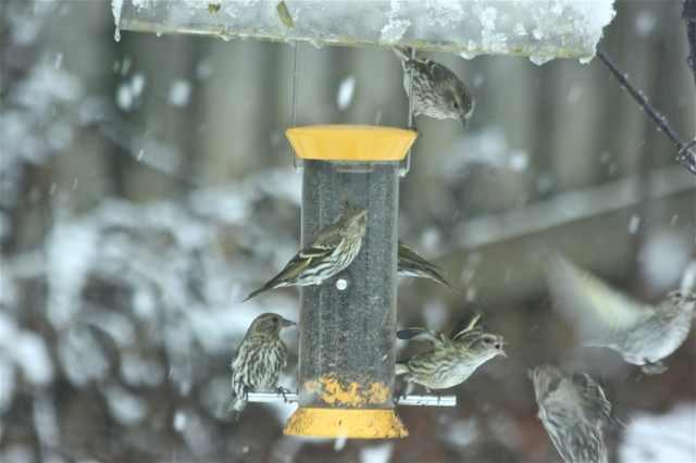 Feisty Pine Siskins