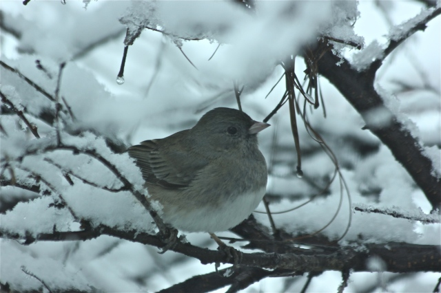 Dark-eyed Junco, aka Snow Bird